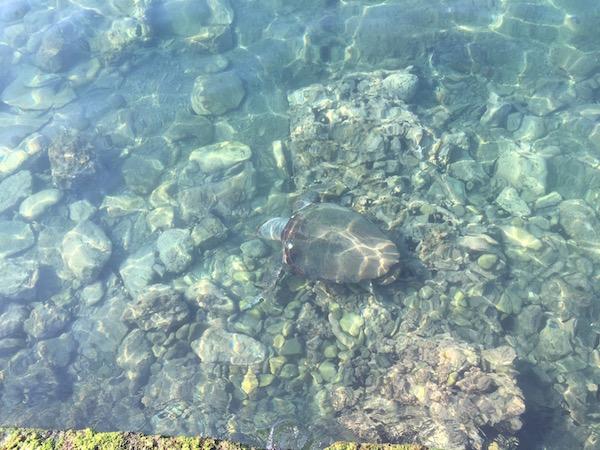 Turtle in Koroni harbour