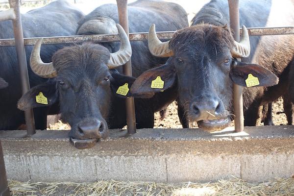 Paestum Buffalo farm Italy