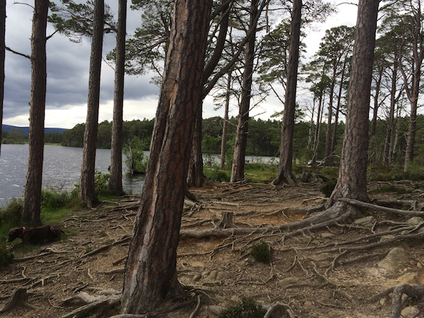 remarkable trees at Nethybridge lake