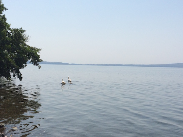 serene swans at Lago Bracciano Italy